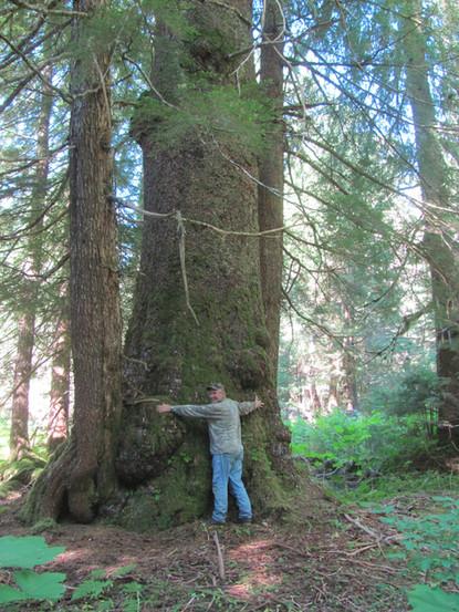 World Record Tree, Coastal AK.