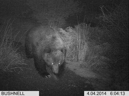 WY Grizzly In Back Yard.