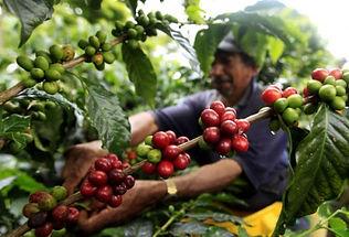 coffeefield-2ixpkn3.jpg