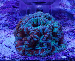 coral 8.jpg