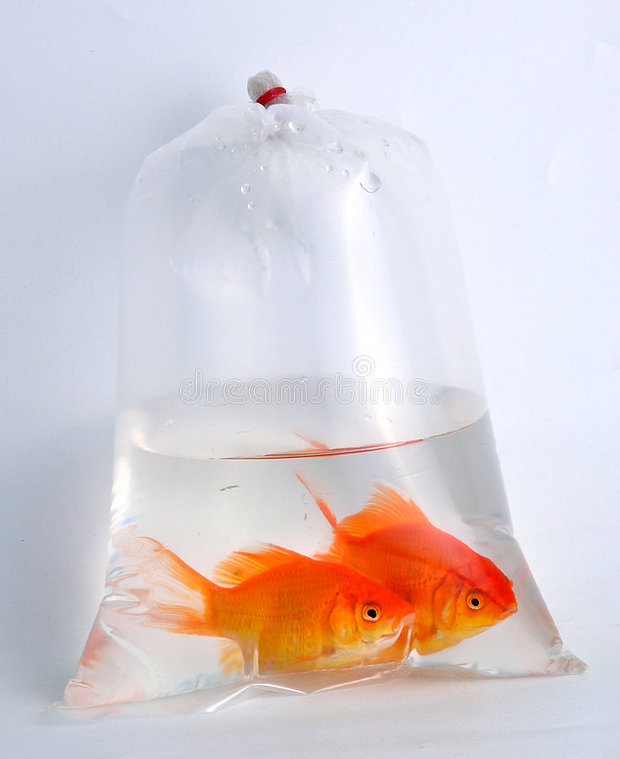 gold-fish-plastic-bag-9145661.jpg