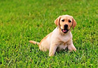 Funny-Labrador-Retriever-Dog-Face-Playin