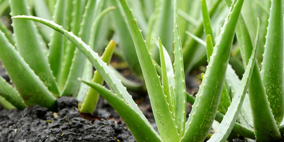 Aloe Vera: Cultivation, Processing, Medicinal & Cosmetic Uses