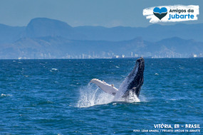 Quem sabe a baleia não gosta de saltar para ver o litoral de Vitória!?