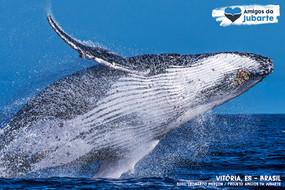 O Salto das Baleias-jubarte
