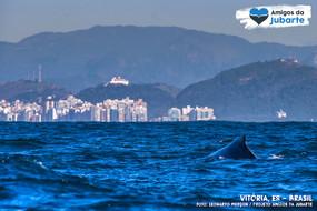 As Baleias-jubarte iniciam seu retorno ao Brasil