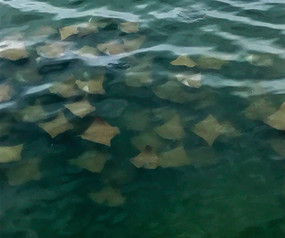 Estagiários registram cardume de Raias na Baía das Tartarugas