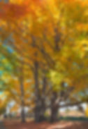 Vertical panorama of very old maple trees at Muster Field Farm, Sutton NH. Photograph by Ken Schuster.