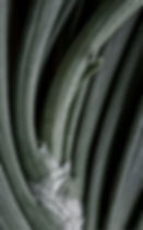 Close-up view of scallions. Black and white photograph lightly tinted. Photograph by Ken Schuster.