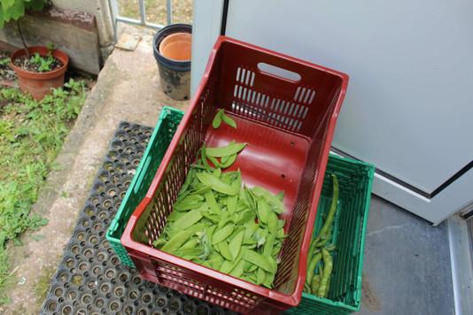 Première récolte de pois coco plats et petit pois....