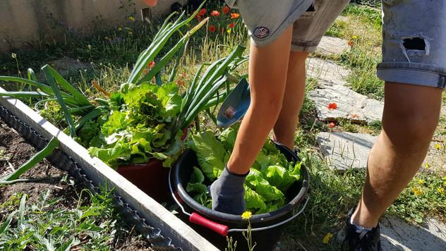 Récolte des légumes pour participer à la cantine....