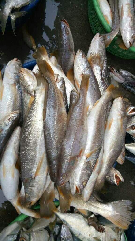 Bhola Fish