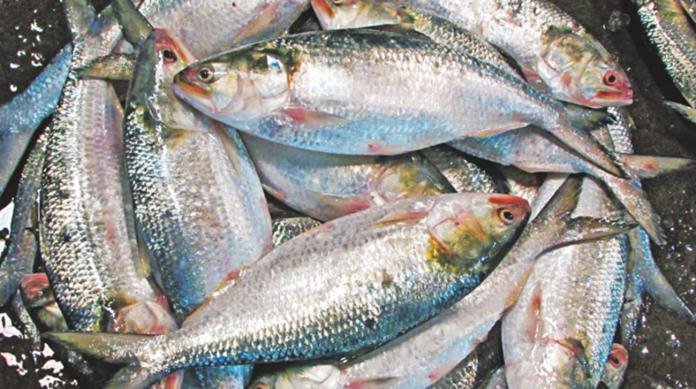 hilsa-fish