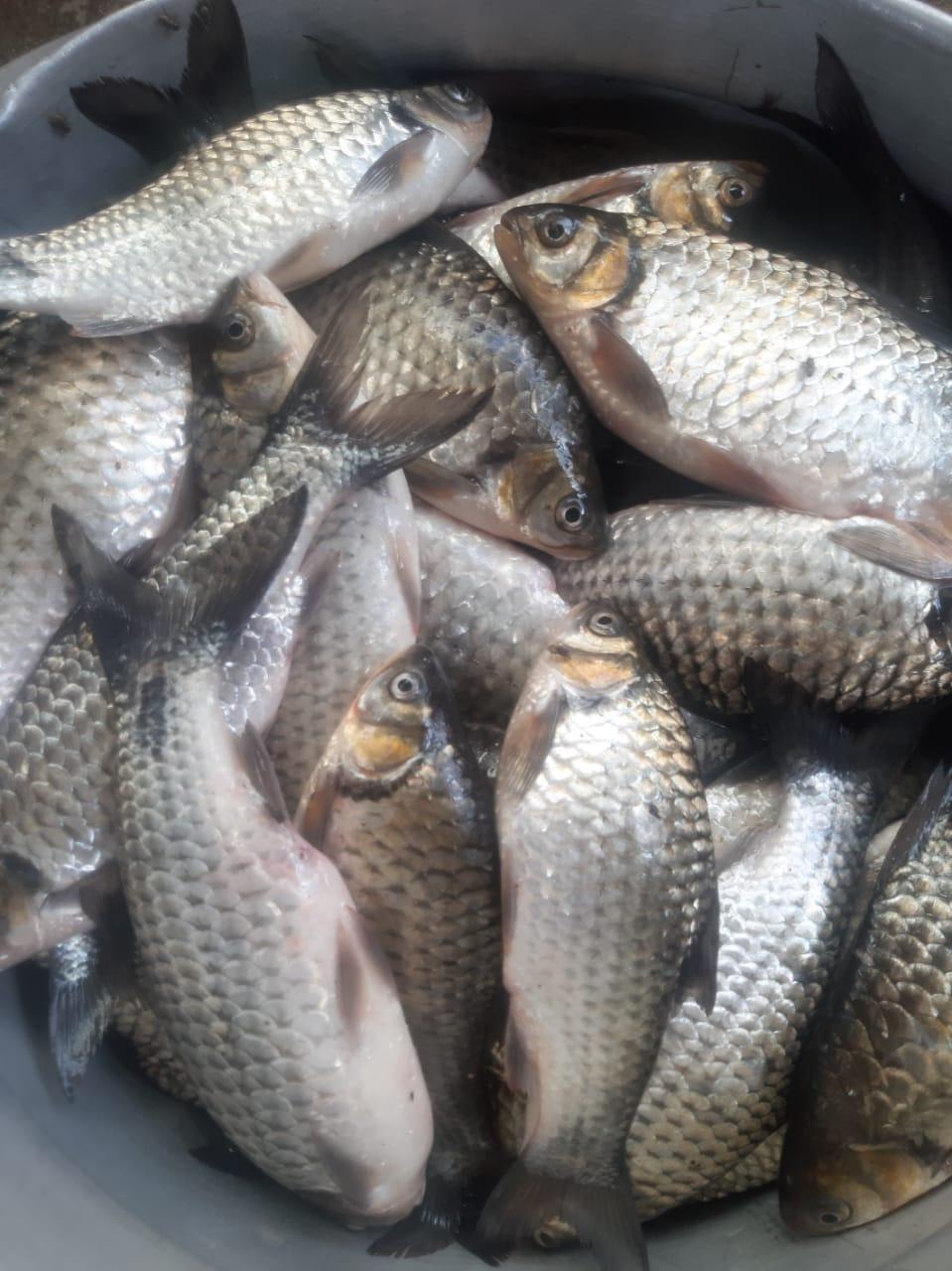 Sar Puti Fish