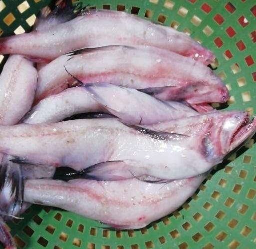 Lote Fish