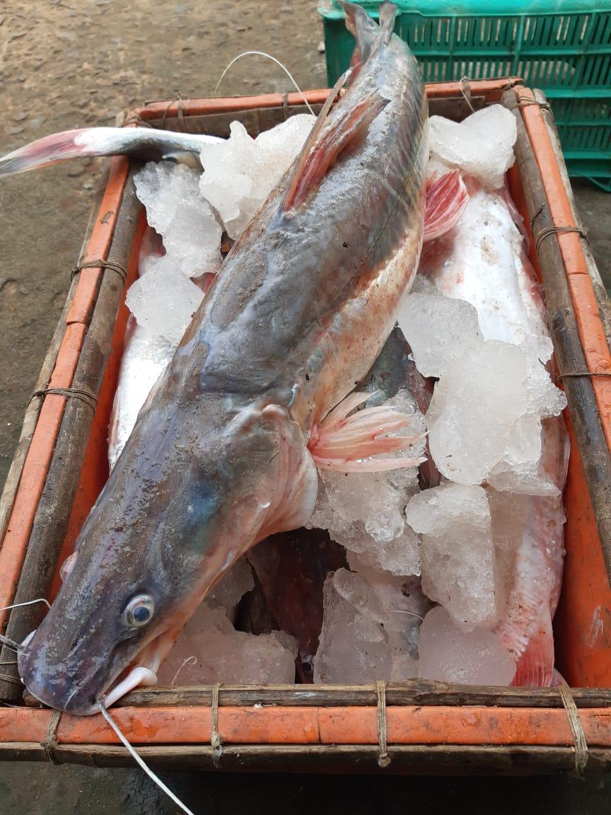 Aar Tengra Fish