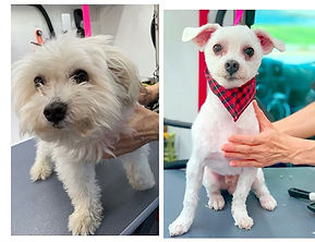 ❤️ Brighton after grooming ❤️ #maltese #