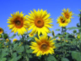 sunflowers-sunflower-yellow-petal-59990.