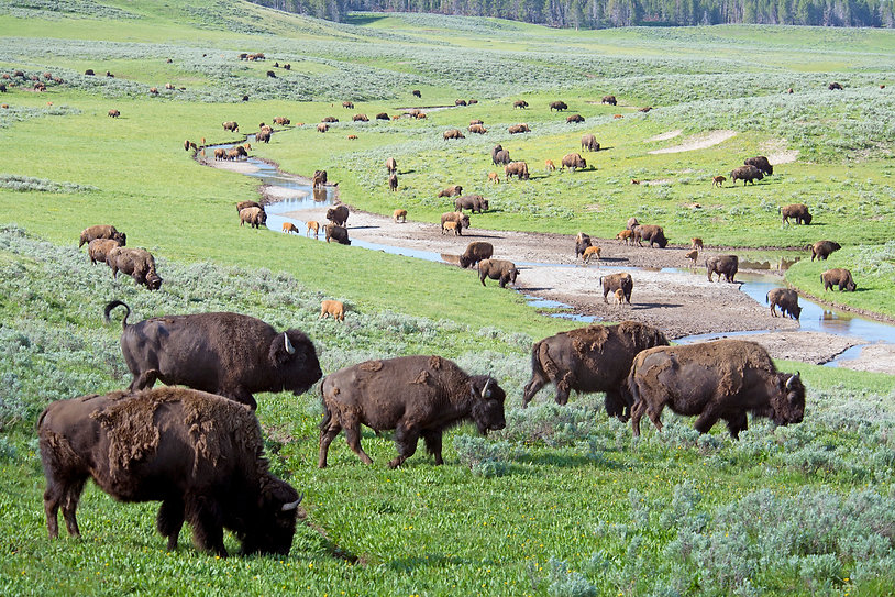 bison 2.jpg