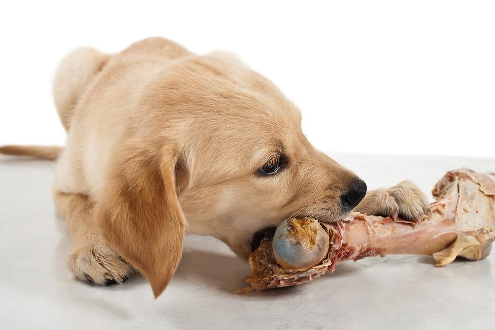 Dog Chewing a real natural bone