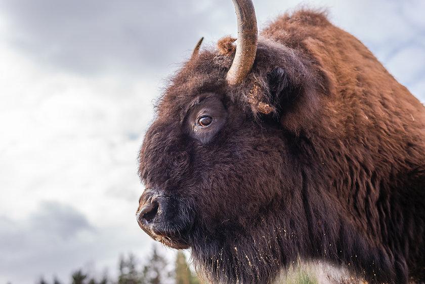 bison 8.jpg