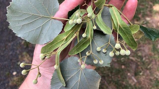 Plant Medicine VII: The Nervines