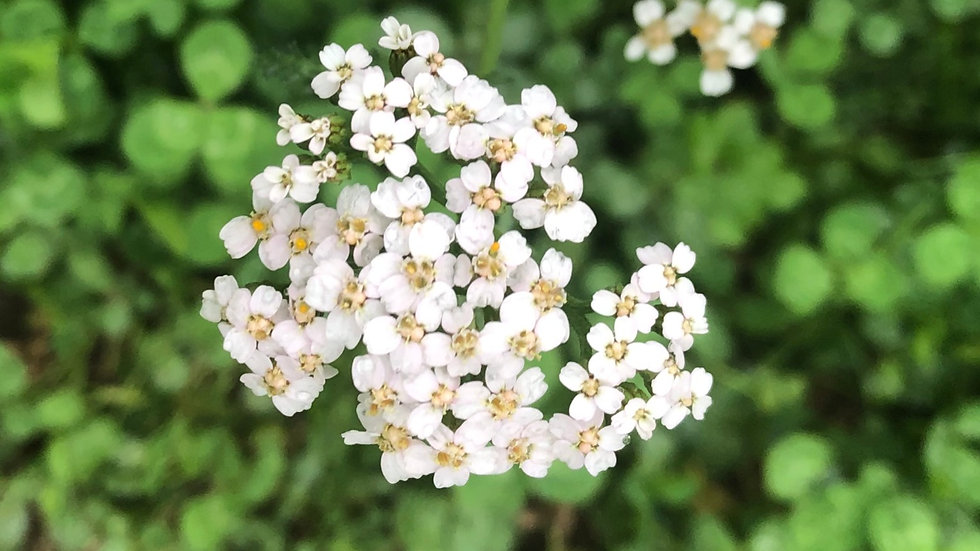 Plant Medicine III ONLINE: Local Herbs, Flowers and Weeds