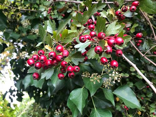 Plant Medicine I: Trees