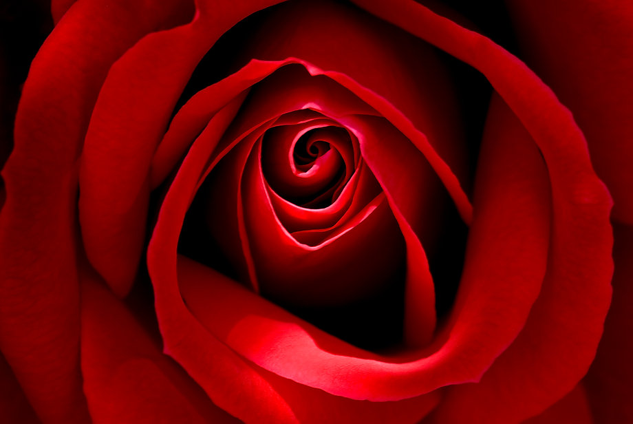 Red Rose500px.jpg