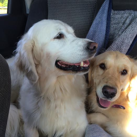 two goldens