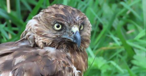 harrierhawk.jpg