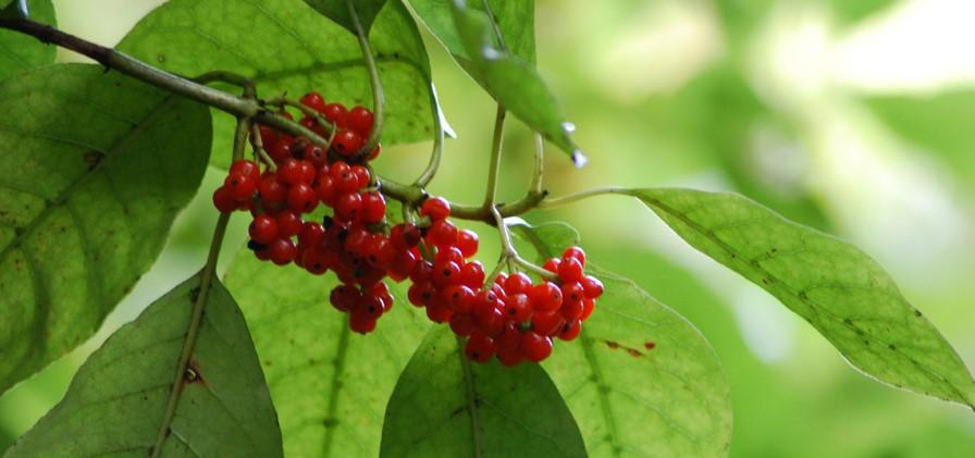 karoro plant