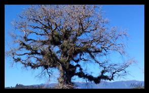 oldtree.jpg