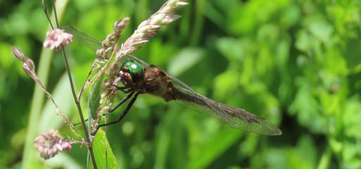 EmeraldDragonfly.jpg