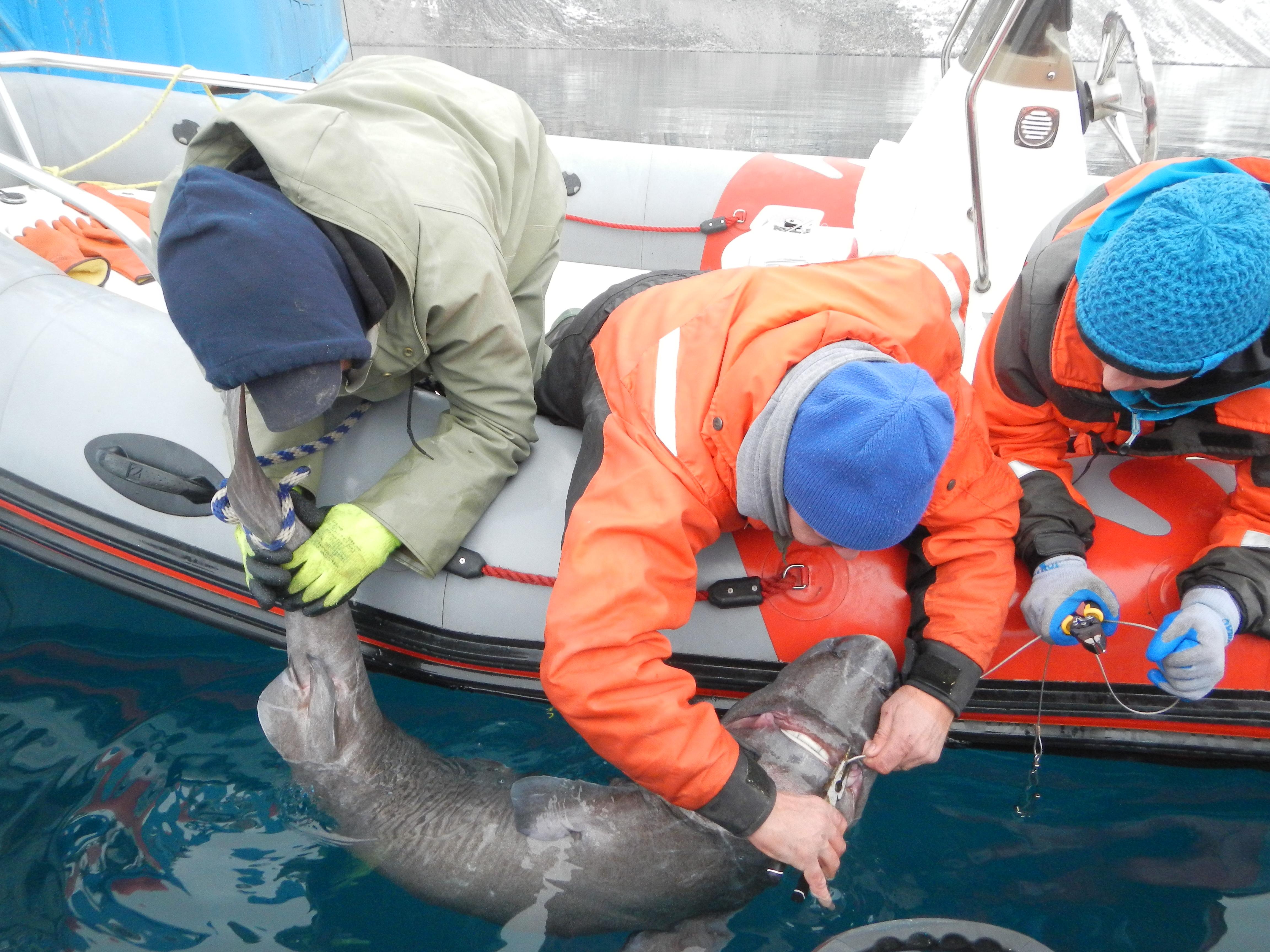 Greenland Shark - Small