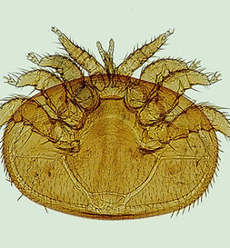varroa-1196510_1920.jpg