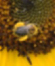 BeeWithPollen.jpg