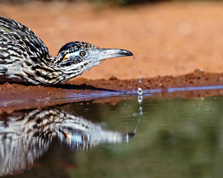 Thirsty Roadrunner