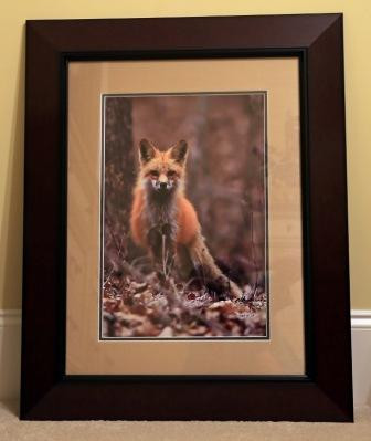 "Photograph ""Crooked Creek Fox"" by Brian Fox"