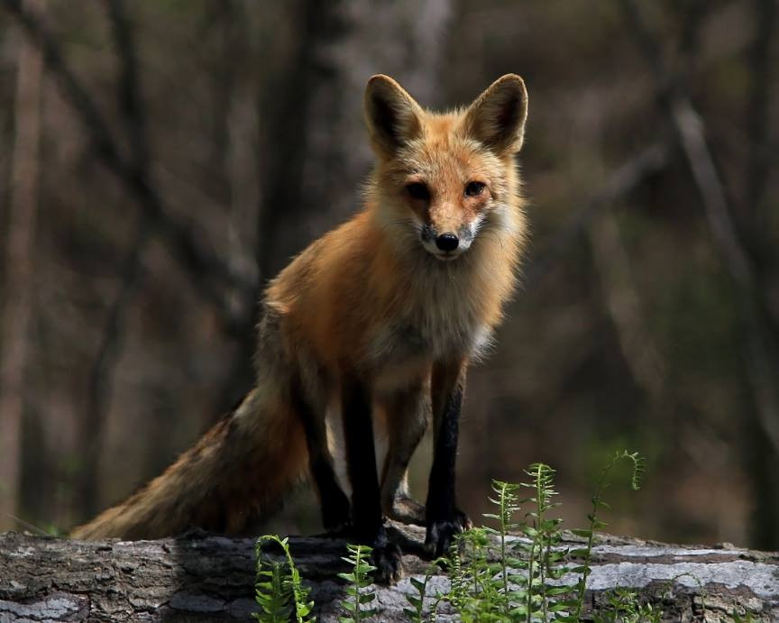 "Photograph ""Crooked Creek Red Fox"" by Brian Fox"