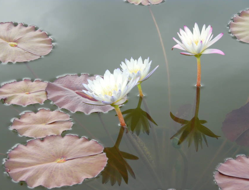 Waterlilies.Alex DiFrancesco