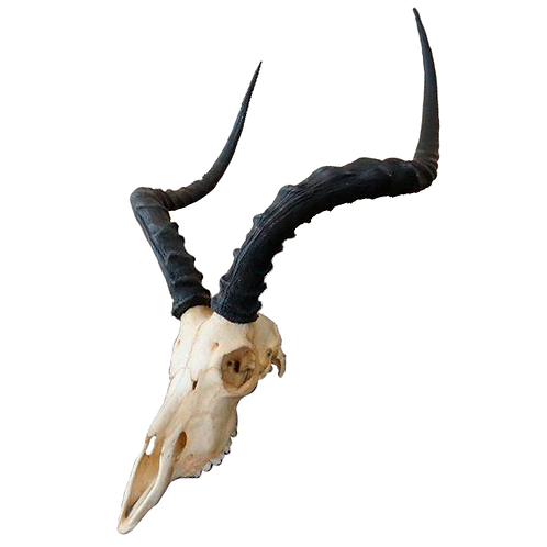 South African Impala Skull 1