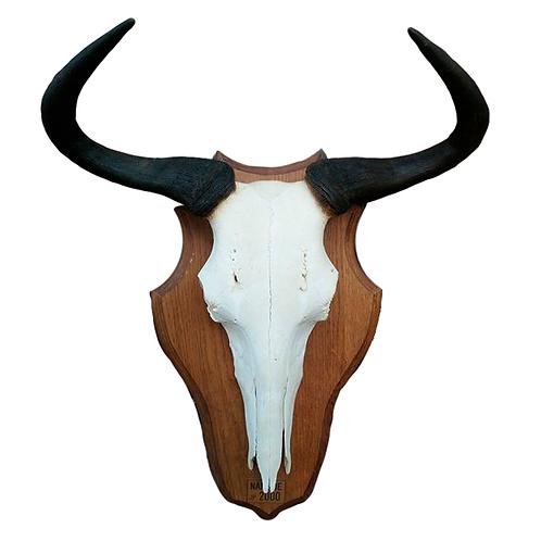 Namibian Blue Wildebeest Skull 1