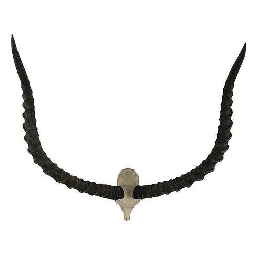 Impala Skull horns Aepyceros melampus 1