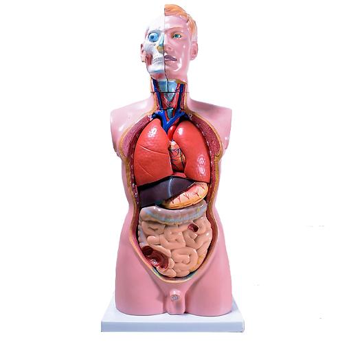 Anatomical Male Torso full 1