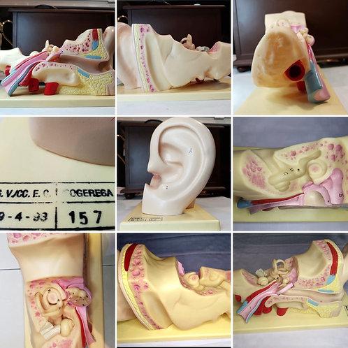 Sogeresa - Anatomical Model of the Human Ear
