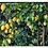 Thumbnail: Green Lemon, Citrus Medica