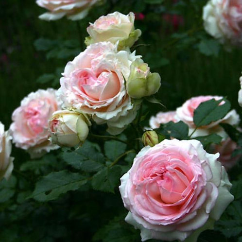 Eden climbing rose