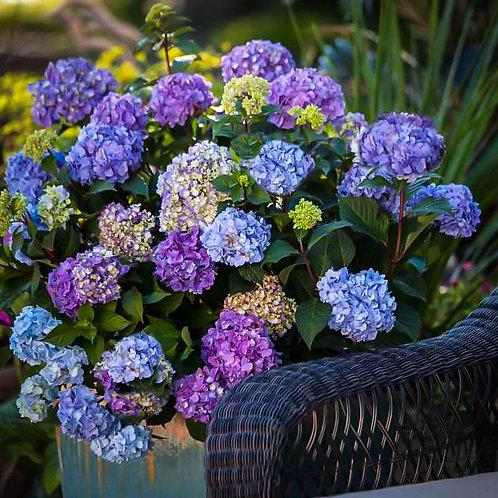 Mophead Hydrangea...Bloomstruck