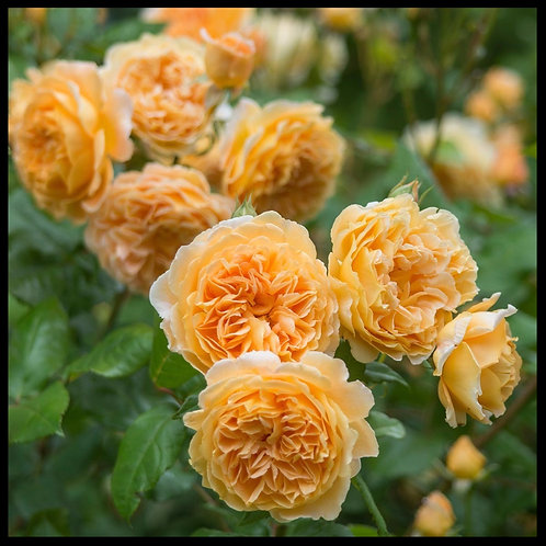 David Austin Rose Crown Princess Margareta